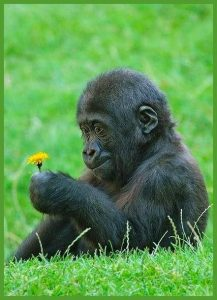 Baby gorilla with flower